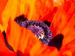 Papaver bracteatum