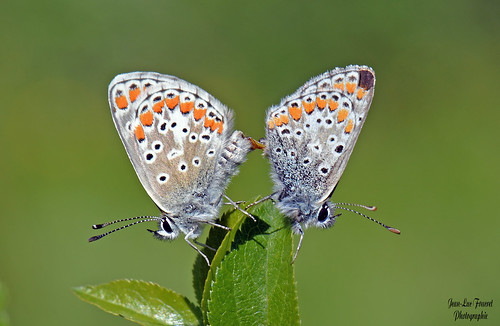 """ Explore"" Azuré bleu céleste (Lysandra bellargus) accouplement"