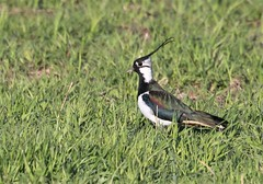 The Lapwing on the green.
