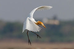 A Cattle Egret Landing in the water
