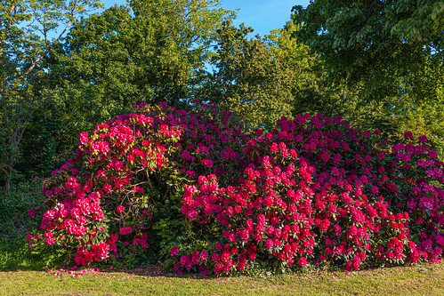 Rhododendron - Hillegom - Nederland.