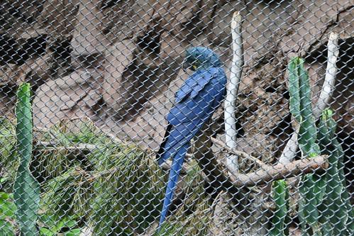 Hyacinth Macaw [4]
