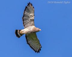 Broad-winged Hawks