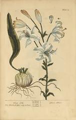 White lilly =: Lilium album