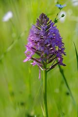Orchidée et la fleur de lin