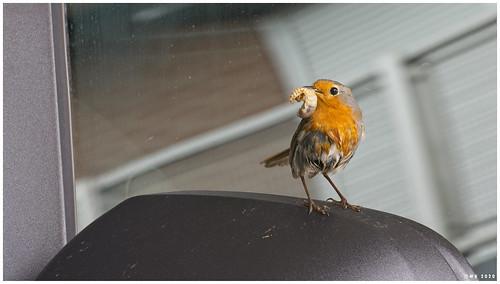 A robin on the car mirror.