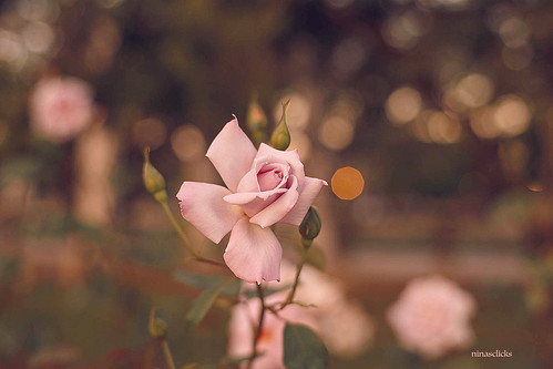 The dancing lilac rose