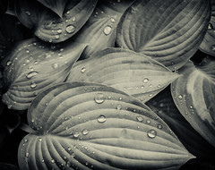 Hosta under gray skies