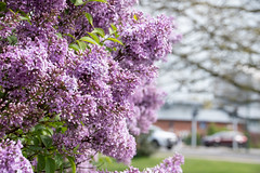 The lilacs bloom