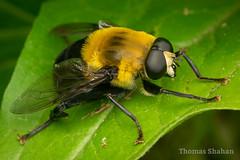 Mallota sp Bee-Mimicking Hover Fly - Oklahoma