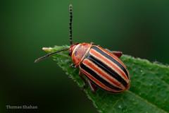 Disonycha sp Beetle - Oklahoma