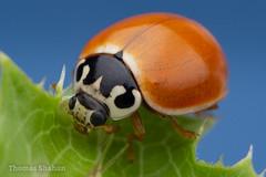 Cycloneda sp Lady Beetle - Oklahoma