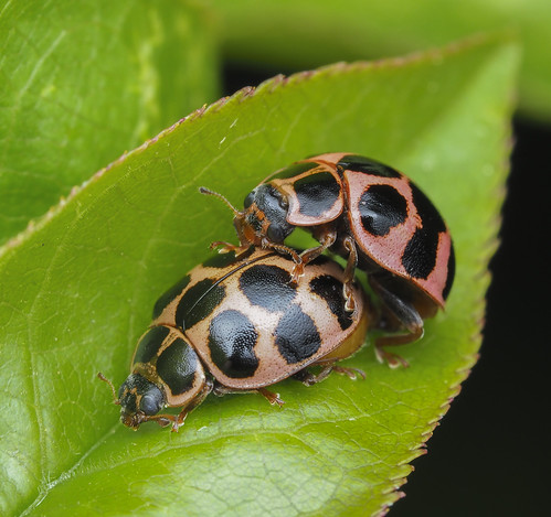 Cream-spotted Lady Beetles - Calvia quatuordecimguttata (Coccinellidae, Coccinellinae, Coccicinellini) 120z-5209261