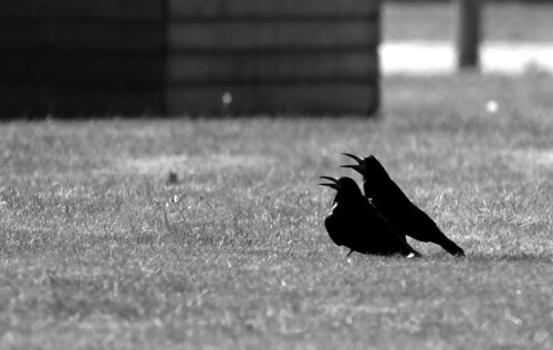 Rooks cooling down