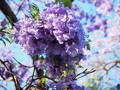 Jacaranda mimosifolia_flowers_P6240183