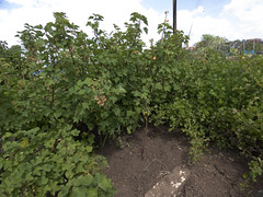 Red Currants and Gooseberries