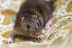 Dark brown rat on the bed