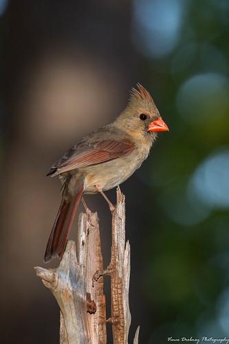 Northern Cardinal-6344-2