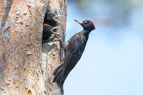 Pics noirs (Dryocopus martius)