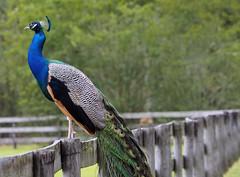 Carson Springs Peacock
