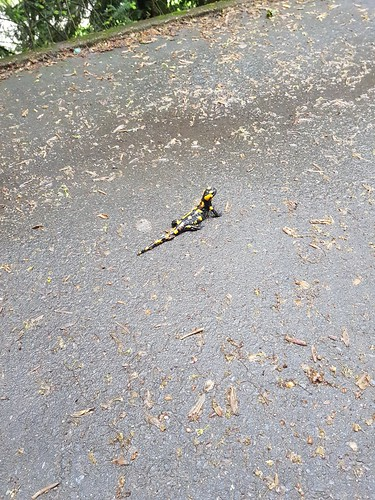 Feuersalamander (Salamandra salamandra) (3)