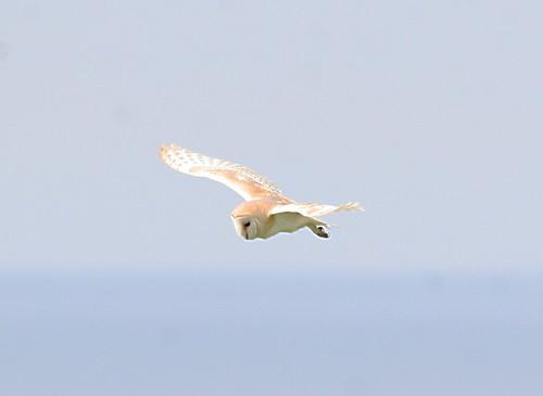 Barn Owls in flight