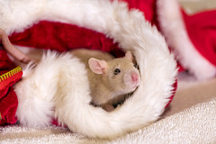 Rat in the christmas hat