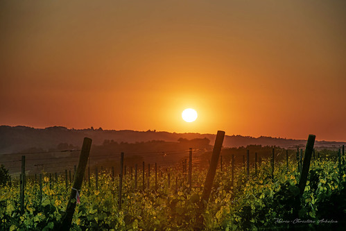 La vigne sur fond de coucher de soleil