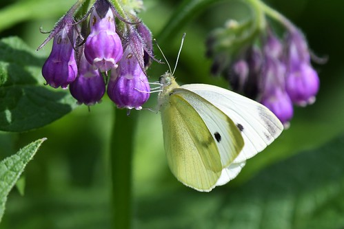 Piéride du chou - Pieris brassicae - Large white