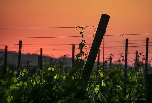 La nuit arrive sur les vignes.
