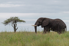 Elephant Profiled with Tree