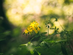 Sunshine flowers bokeh | May 21, 2020 | Tarbeker Moor - Schleswig-Holstein - Germany