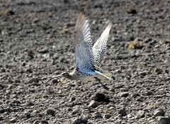 Curlew,,,and wings