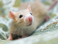 White rat on the bed