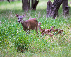 A DOE AND HER 2 FAWNS