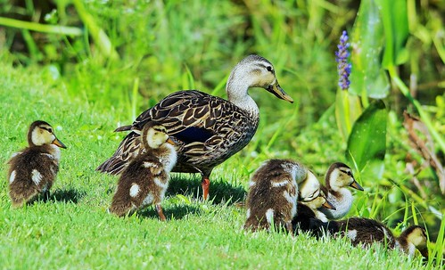 Mottled Duck Family Heading To The Water (Anas fulvigula)