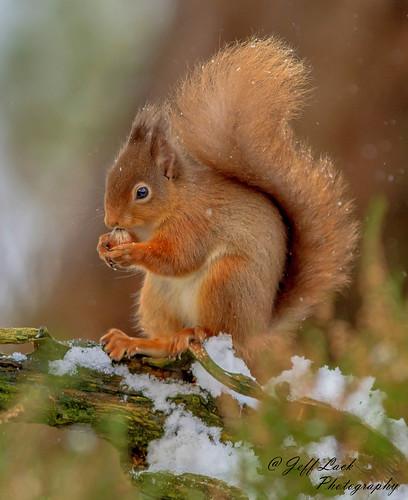 DSC0414  Red Squirrel..