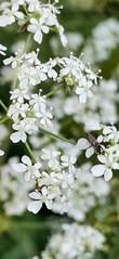 Wild flowers, Gentleshaw Common, Burntwood, England