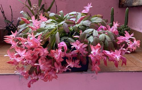 Flor de Maio (