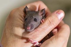 Rat in the hand