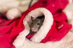 Dark rat in the christmas hat
