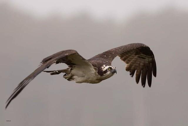 ...Osprey on a gray, misty, morning..