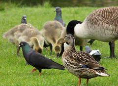 Pigeon, Mallard, and some Canada geese, Branta canadensis, Kanadagås