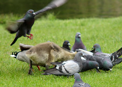Pigeons and Canada goose, Branta canadensis, Kanadagås