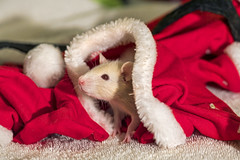 Rat in the christmas hat, again!