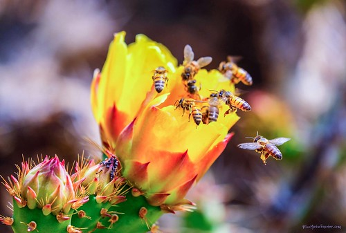 Bees in Flight to a Prickly Pear Cactus