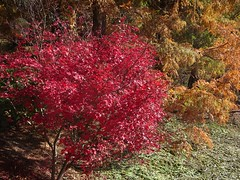 Adelaide Hills in autumn. In the Mount Lofty Botanic Gardens. Brilliant autumn red of a small Japanese Maple and browning pine leaves of a Taxodium tree. .