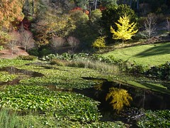 Adelaide Hills. Yellow autumn leaves of a Ginkgo tree reflected in the pond in the Mount Lofty Botanic Gardens. Mid May 2020.