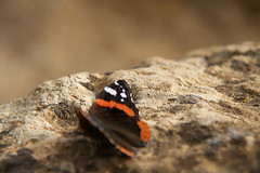 Butterly, Valley of the Temples, Agrigento, Sicily, 意大利