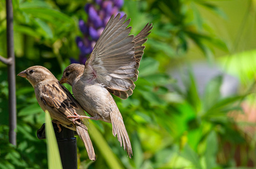 Two sparrows / Spatz II